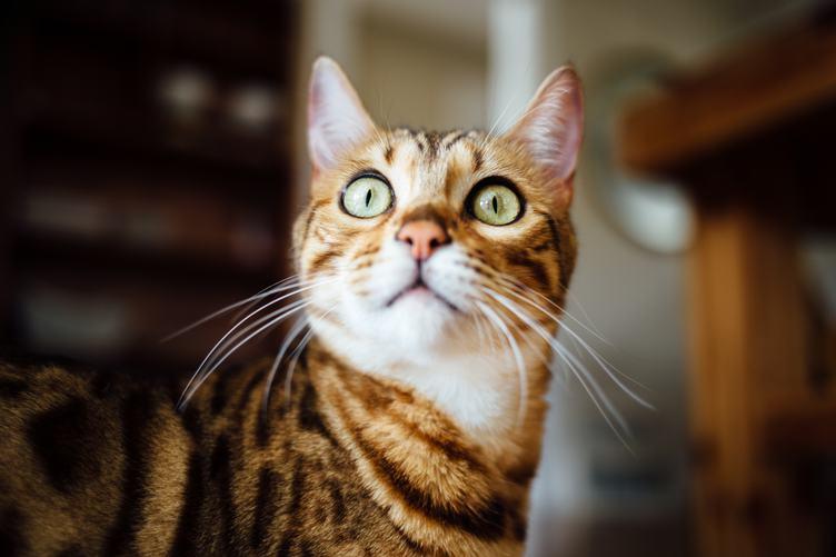 Portrait of a Brown Cat