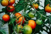 Tomatoes Ripen on the Bush