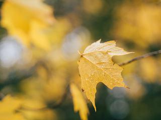 Yellow Wet Leaf on a Twig