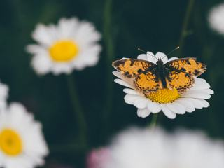 Yellow Butterfly on Daisy Flower