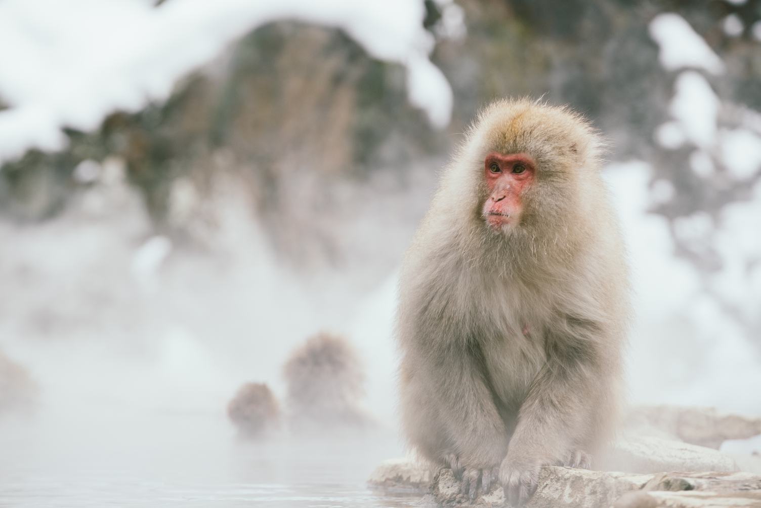 Japanese Snow Monkey Macaque