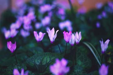 Alpine Violet Flowers