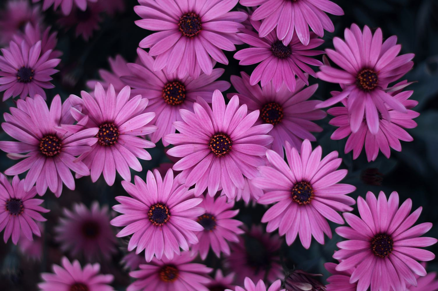 Pink Flowers from Above
