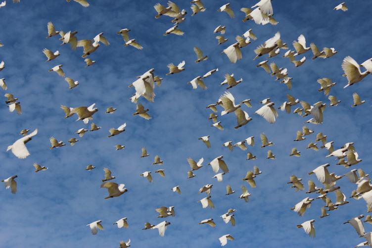 Cockatoo Flock Flying against the Sky