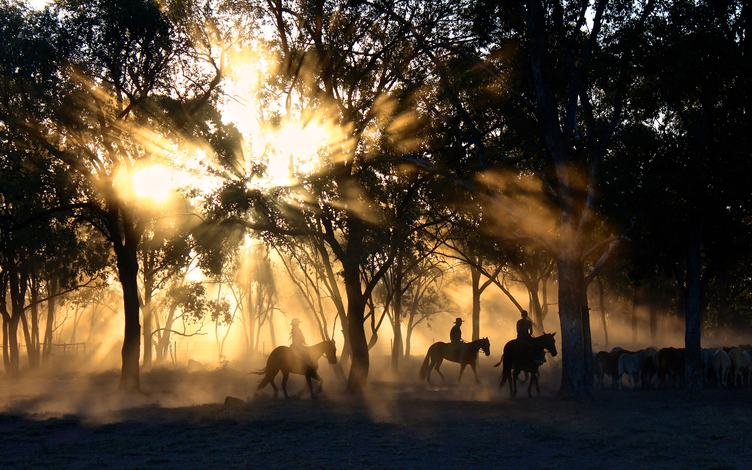 Cattle Drive at Sunset