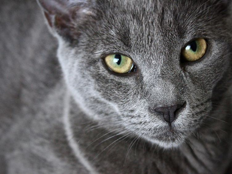 Portrait of Elegant Grey Cat