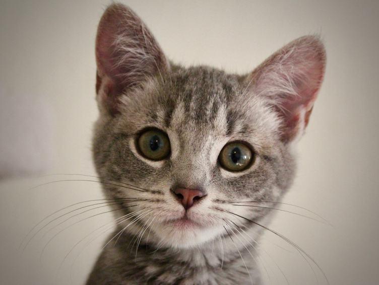 Portrait of a Scared Little Gray Cat