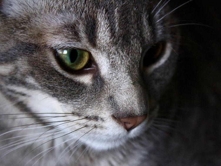 A Closeup of a Tabby Cat