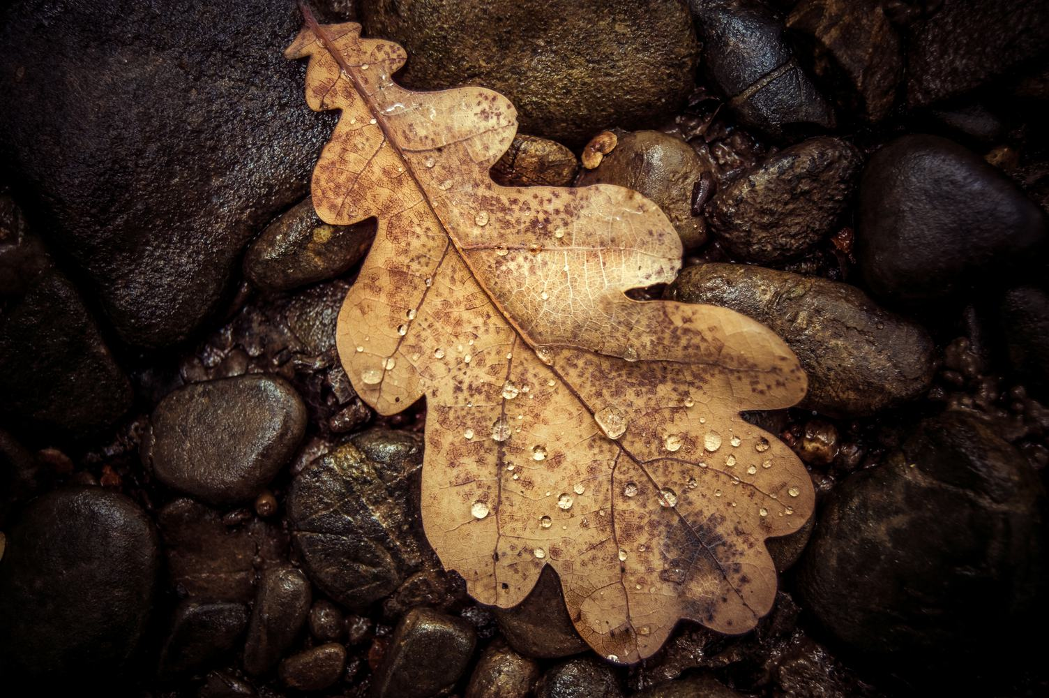 Brown and Wet Oak Leaf on the Stones