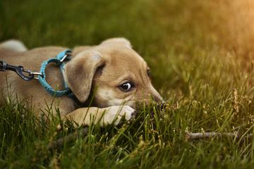 Cute Puppy Dog on the Grass