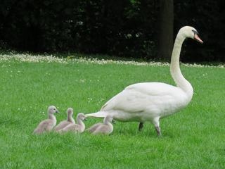 Family of Swans on Green Grass