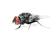 Insect Fly Macro on White Background