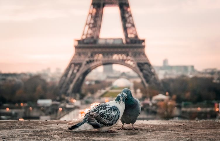 Hugged Pigeons in Paris