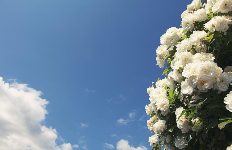 Bush of White Roses Against Blue Sky