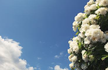 Bush of White Roses Against Blue Sky