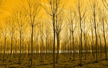 Young Trees in Rows