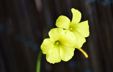 Yellow Flowers on a Black Background