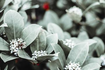 Japanese Skimmia Flowers and Leaves