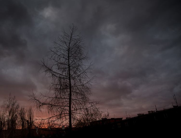 Larch Against Grey Sky