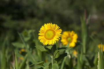 Yellow Sunflower on a Background of Greenery