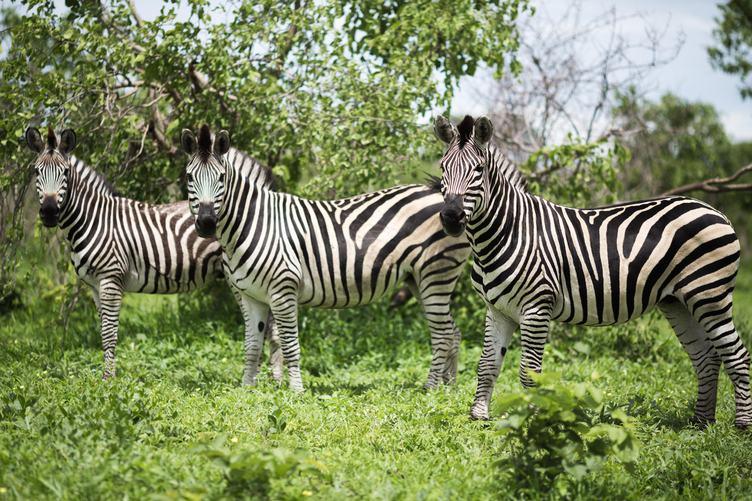 Three Lovely Zebras