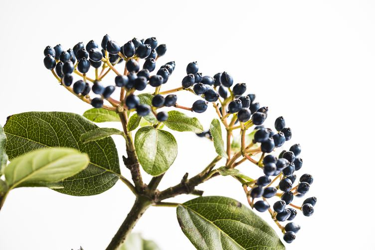 Elderberry Branch on a White Background