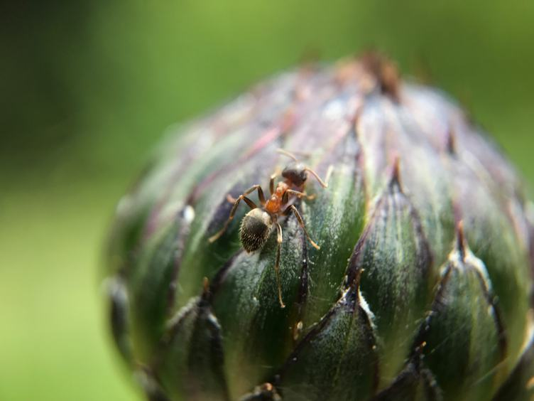 Ant on a Flower Bud