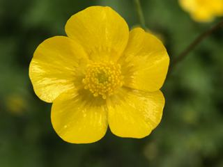 Potentilla Flower Closeup