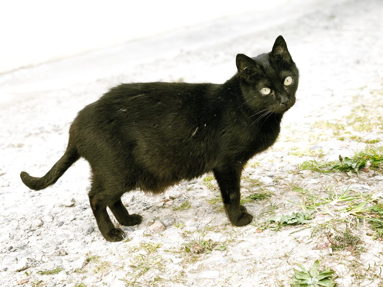 Black Cat from One Side