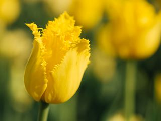 Yellow Tulips Growing on a Field