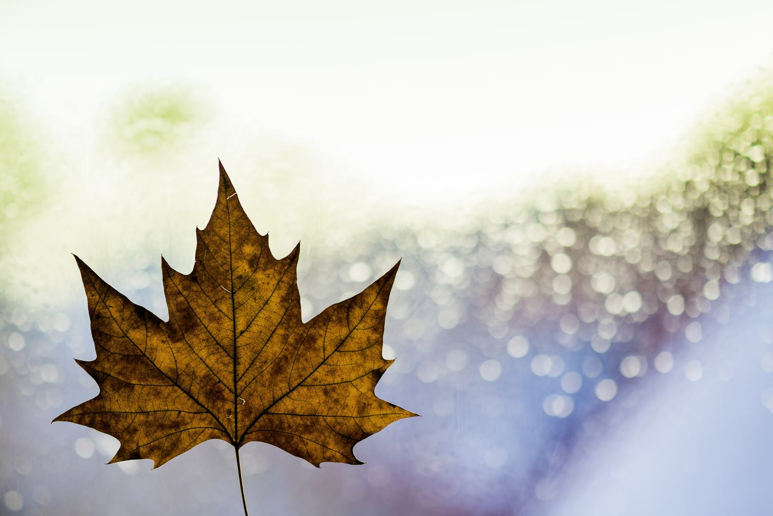 Autumn Single Maple Leaf