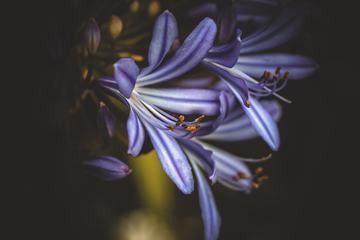 Purple Lily Flower