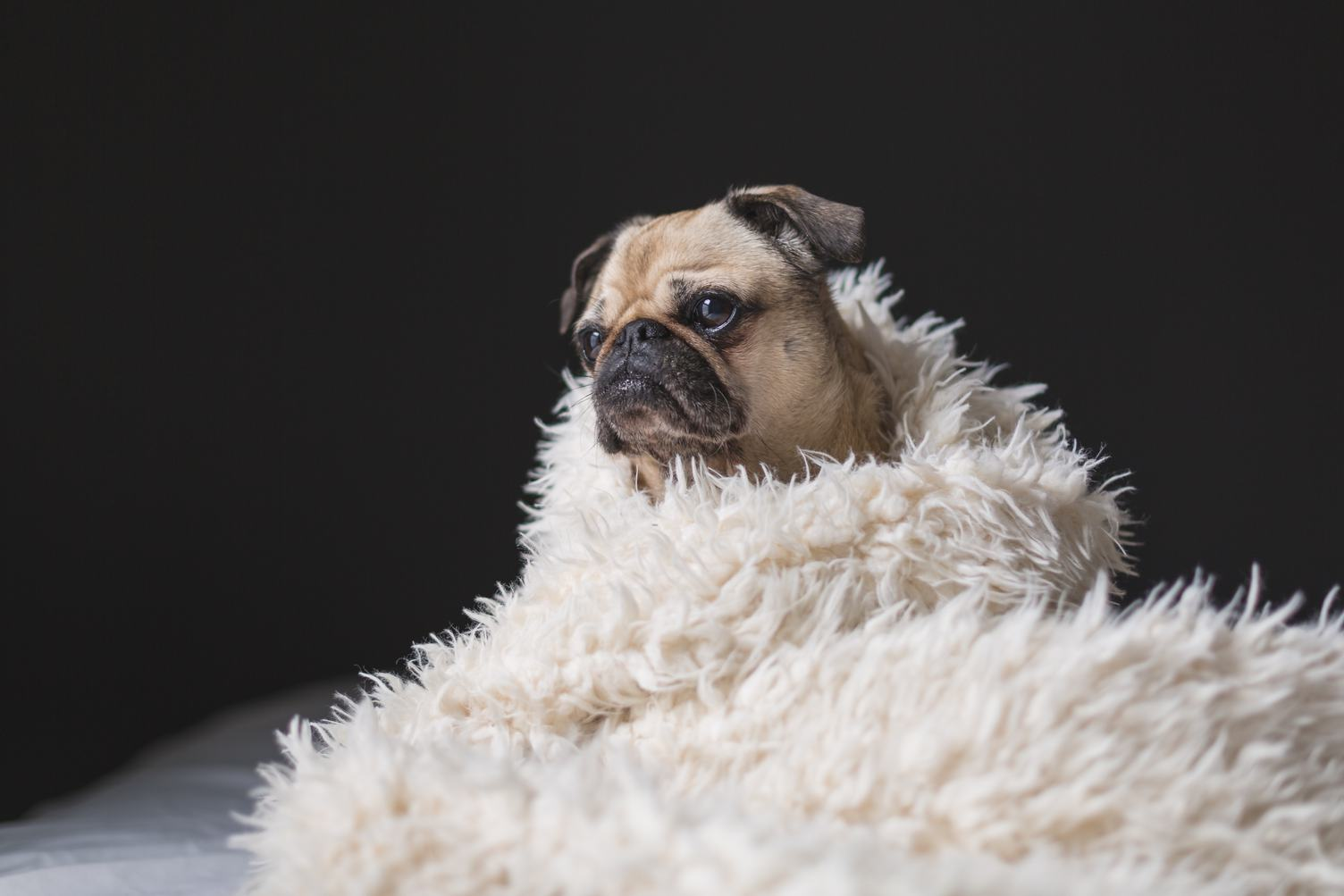 Wrapped in a Pug