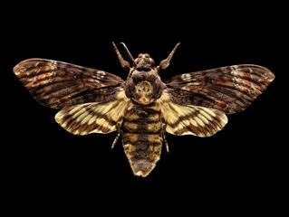 Deaths-head Hawkmoth