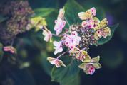 Speckled Hydrangea