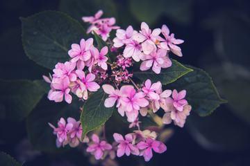 Cute Pink Hydrangea Flowers