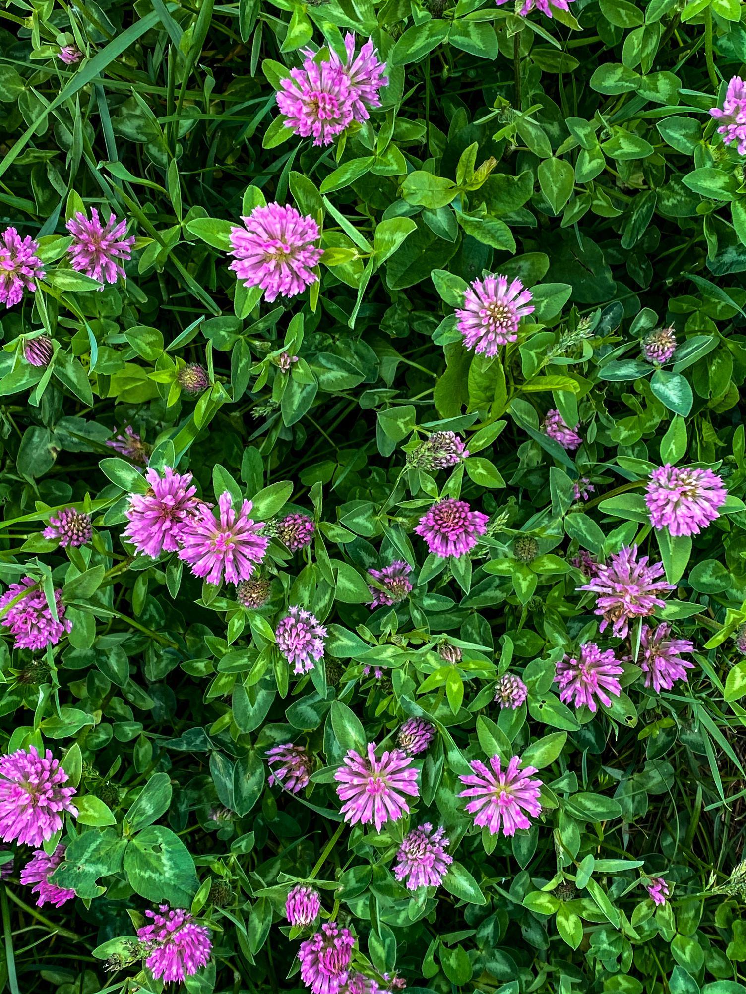 Pink Clover Meadow