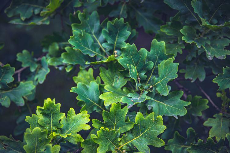 Green Oak Twigs