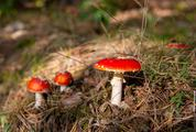 Red Toadstools