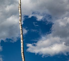 Birch Trunk against the Sky