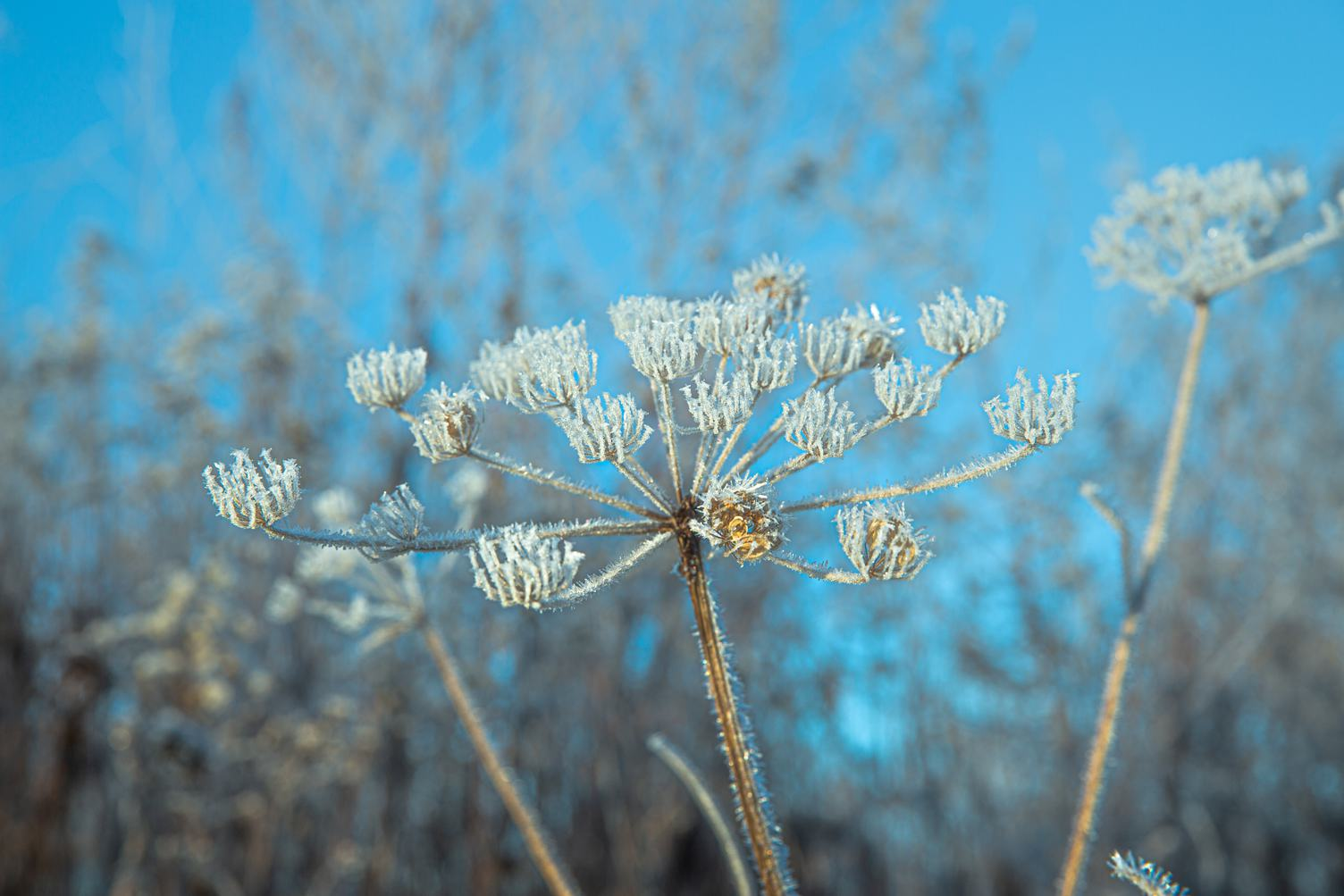 Hogweed in the Winter Time
