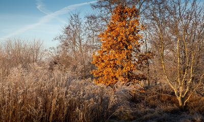 Tree with Red Leaves in Winter Meadow