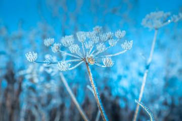 Frosty Plant on a Background of Blue Sky
