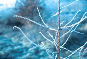 Frosted Branches