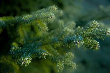 Wet Branches of a Coniferous Tree