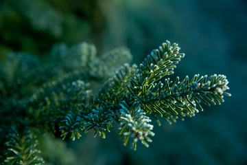 Green Branches of a Coniferous Tree