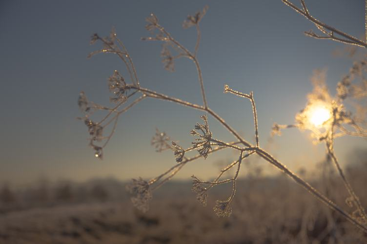 Frosted Plant against the Sun
