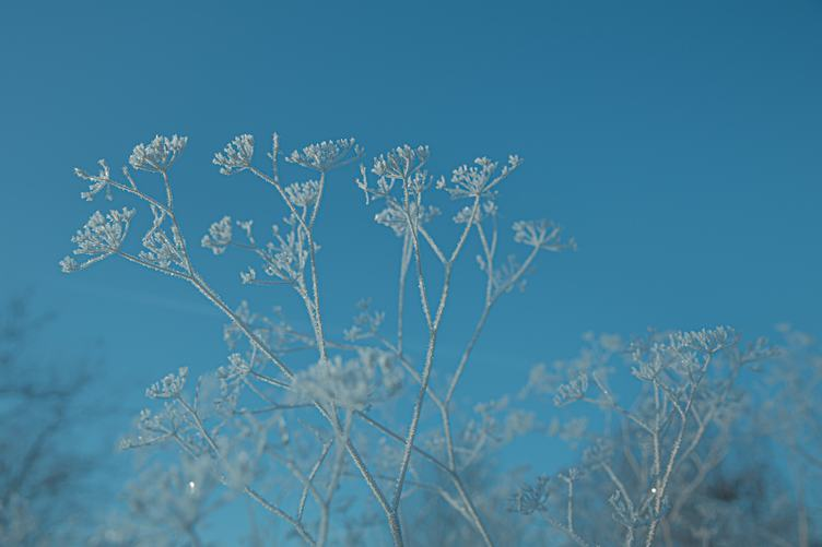 Frozen Umbellate Plant on a Blue Background