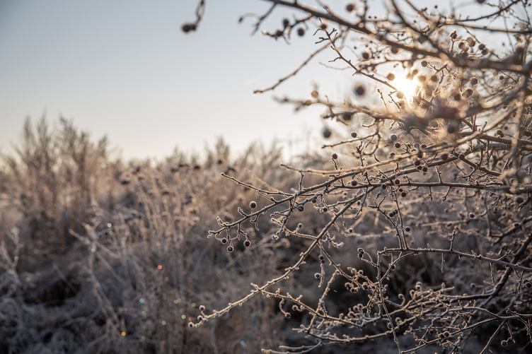 Brunches ful of Frozen Hawthorn Berries