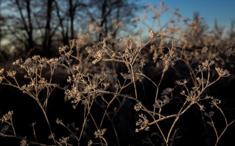 Frozen Umbellate Plant